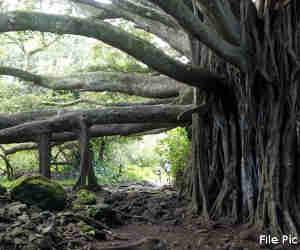 भारत का यह 700 साल पुराना पेड़ आज वेंटीलेटर पर जी रहा है, देख लो, फिर रहे न रहे!