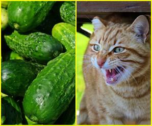 खीरा देखकर डर से उछल जाने वाली बिल्लियां तो बहुत देखीं, पर इसकी सच्चाई आज पता चली