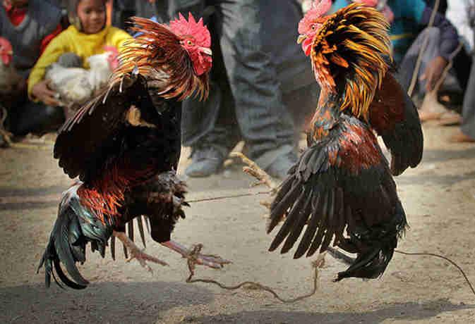 पुलिस छापे में पकड़े गए मुर्गों की कोर्ट में होगी पेशी, यहां लड़ाई के लिए ऐसे तैयार होते हैं मुर्गे