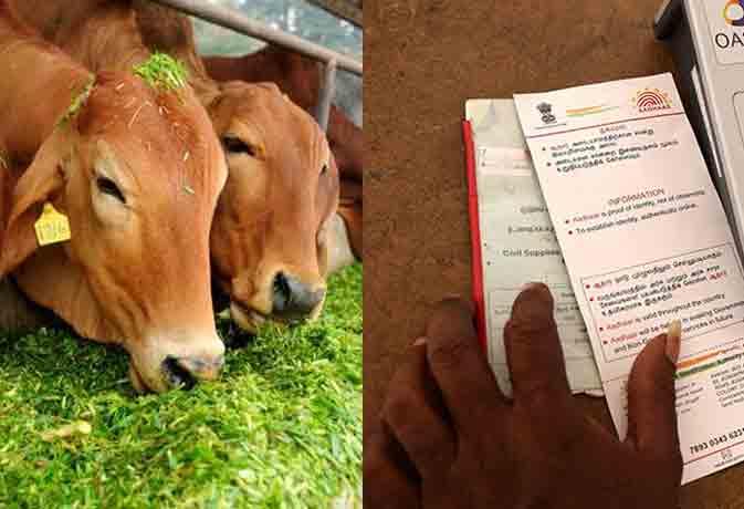 अब आपकी गाय-भैंसों का भी बनेगा आधार कार्ड