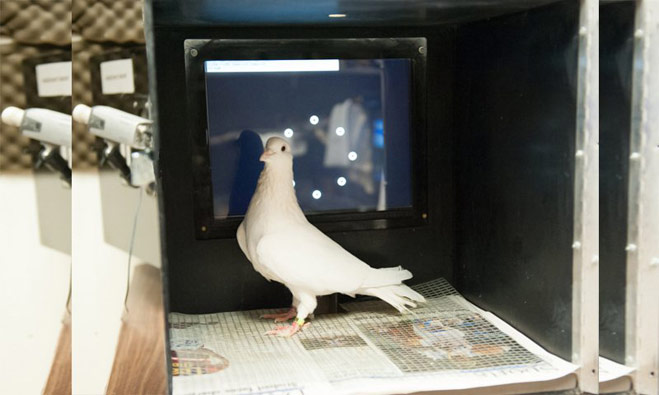 A Pigeons can spot breast cancer
