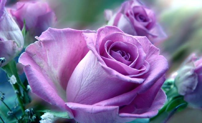 गुलाब का हर रंग कुछ कहता है