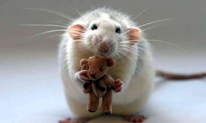 चूहे के अंगों से बनाया इंसानी दिल, आगे हो सकेगा ट्रांसप्लांट