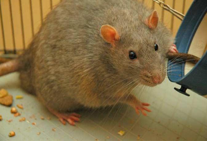 OMG! हॉस्पिटल में चूहा कुतर गया नवजात बच्चे को