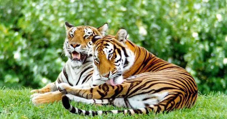दो टाइगर को बचाने से होगा इतना फायदा कि मंगलयान भेजने का पूरा खर्च निकल आए