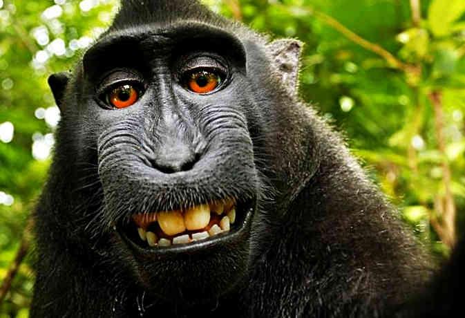 सेल्फी लेने वाला बंदर बनेगा 'पर्सन ऑफ द ईयर', पेटा ने किया नॉमिनेट