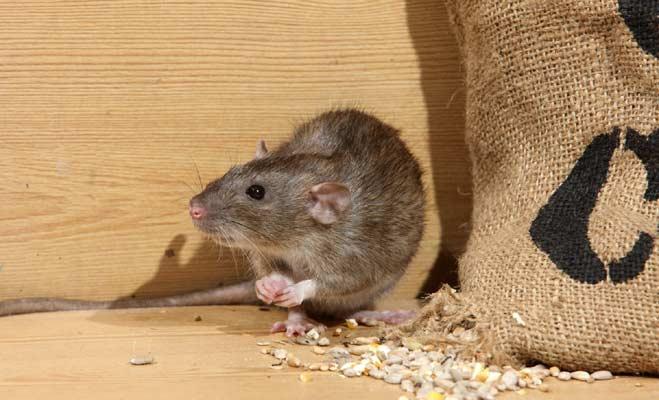 चाय बनाने के बाद चायपत्ती को फेंके नहीं,चूहे भगाने में कर सकते हैं इस्तेमाल