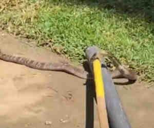 मैदान पर प्रैक्टिस कर रही क्रिकेट टीम के बीच पहुंचा कोबरा सांप, सामने आया वीडियो