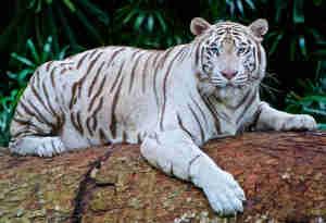 जापान में सफेद बाघ के खतरनाक हमले से चिड़ियाघर के संचालक की मौत