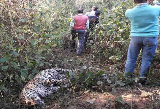 एक हिरण के लिए भिड़े बाघ और तेंदुआ, कोई नहीं मान रहा था हार घंटों लड़ने के बाद एक ने गवां दी जान